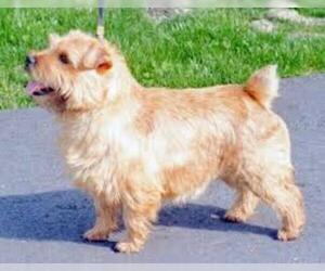 Small #5 Breed Norfolk Terrier image