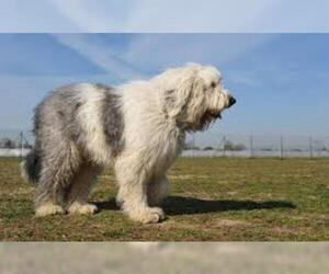 Small #2 Breed Old English Sheepdog image