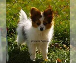 Small #1 Breed Papillon image