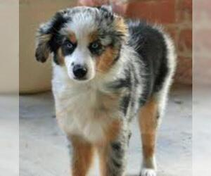 Small #4 Breed Australian Shepherd image