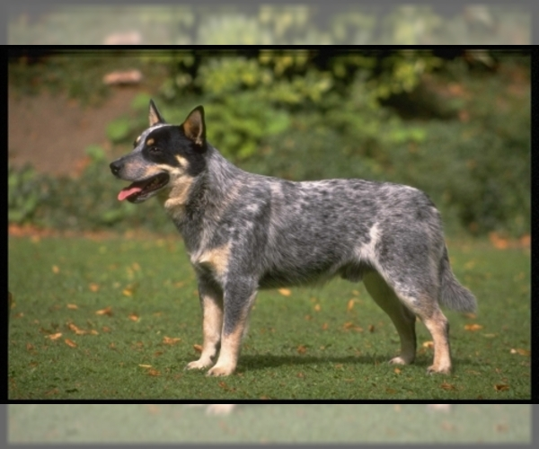 Image (Australian Cattle Dog)