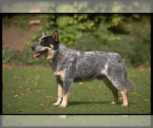 Samll image of Australian Cattle Dog
