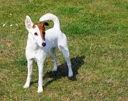 Medium Photo #4 Fox Terrier (Smooth) Dog Breed