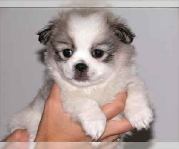 Image of Peke-A-Tese Breed