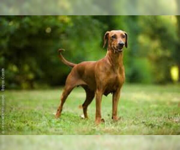 Medium Photo #3 German Pinscher Dog Breed