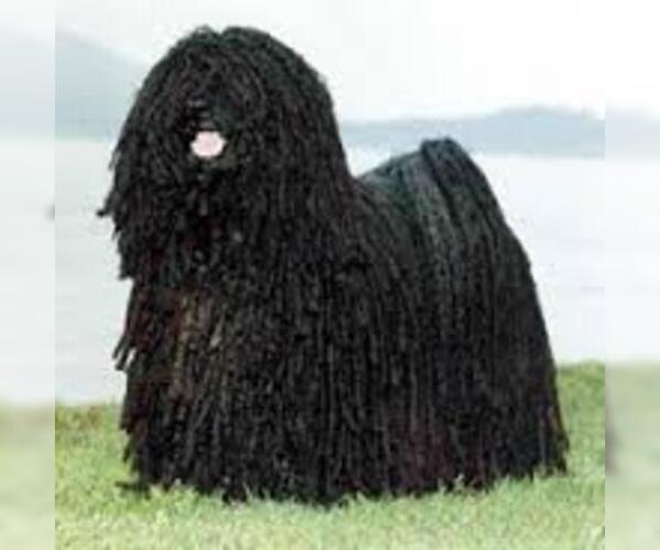 Medium Photo #5 Komondor Dog Breed