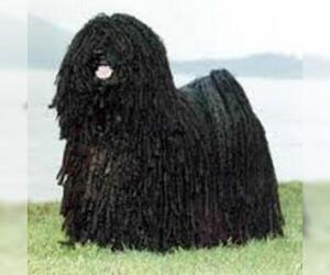 Small Photo #5 Komondor Dog Breed