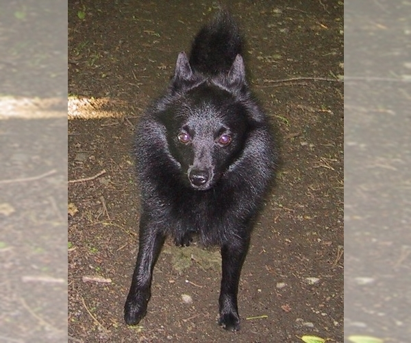Image of Schipperke Breed