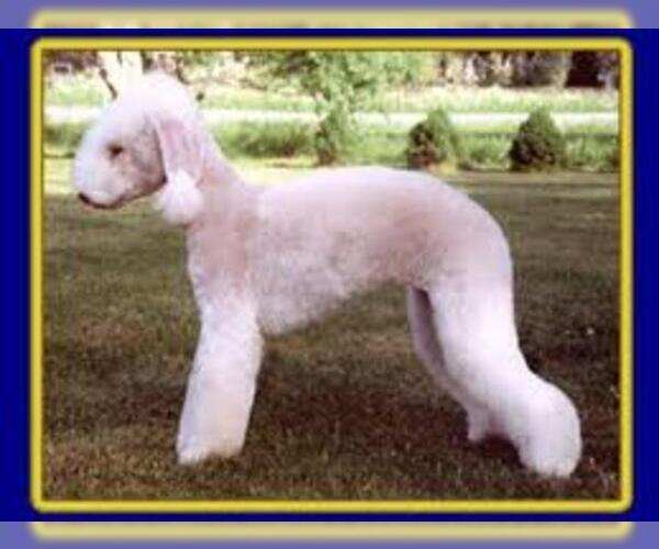 Medium Photo #7 Bedlington Terrier Dog Breed