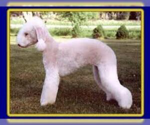 Small #6 Breed Bedlington Terrier image