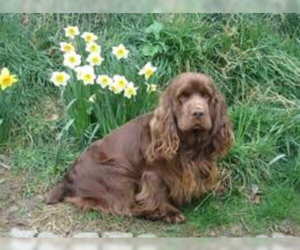 Medium Photo #5 Sussex Spaniel Dog Breed