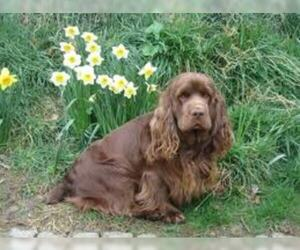 Small #4 Breed Sussex Spaniel image
