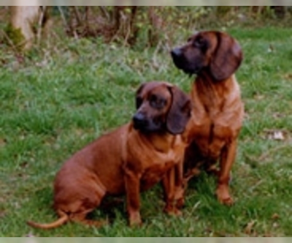 Image of Bavarian Mountain Hound Breed