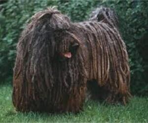 Small #6 Breed Puli image