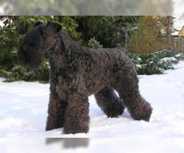 Medium Photo #5 Kerry Blue Terrier Dog Breed