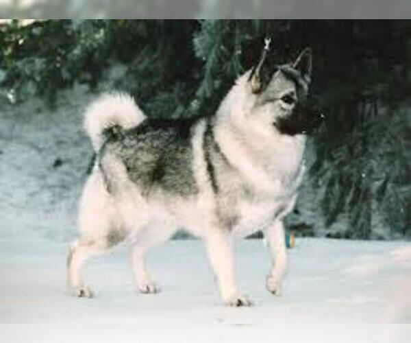 Medium Photo #5 Norwegian Elkhound Dog Breed