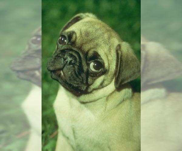 Medium Photo #2 Pug Dog Breed