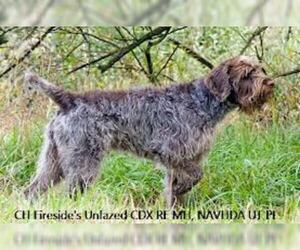 Small #1 Breed Wirehaired Pointing Griffon image