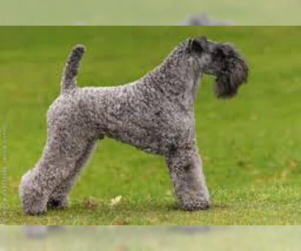 Medium Photo #3 Kerry Blue Terrier Dog Breed