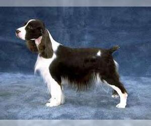 Small #1 Breed English Springer Spaniel image