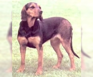 Austrian Black and Tan Hound
