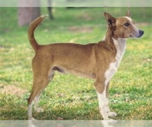 Image of Portugueso Hound Breed