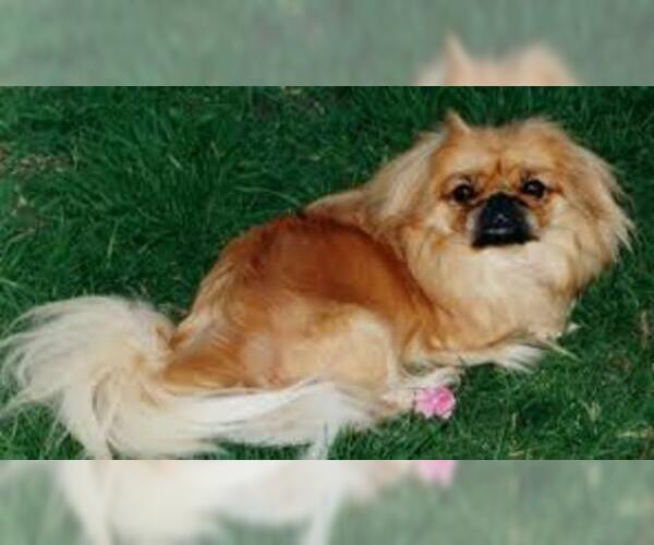 Medium Photo #2 Pekingese Dog Breed