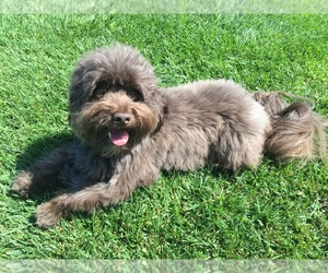 Small #14 Breed Havanese image