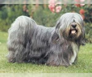 Small #1 Breed Lhasa Apso image