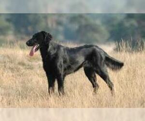 Small Photo #5 Flat Coated Retriever Dog Breed