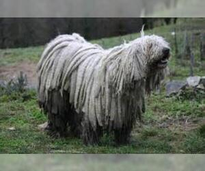 Small Photo #3 Komondor Dog Breed