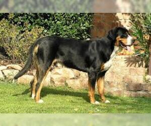 Small #3 Breed Greater Swiss Mountain Dog image