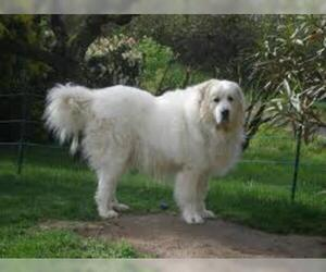 Small #1 Breed Great Pyrenees image