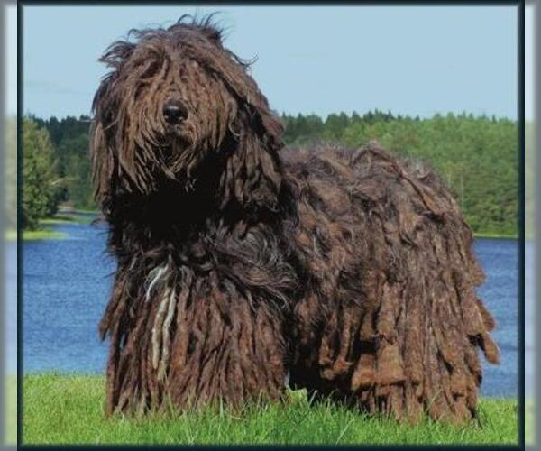 Image of Bergamasco Sheepdog Breed