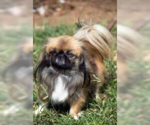 Small #6 Breed Pekingese image