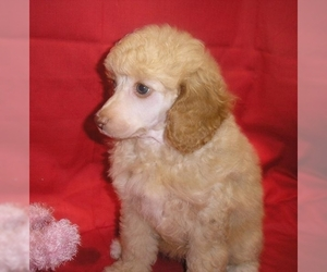 Samll image of Poodle (Miniature)