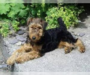Small #4 Breed Welsh Terrier image
