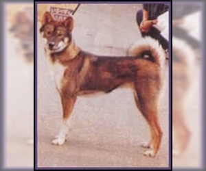 Image of Sanshu Dog breed