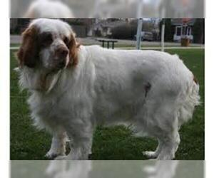 Small #1 Breed Clumber Spaniel image