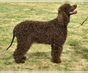 Small #7 Breed Irish Water Spaniel image