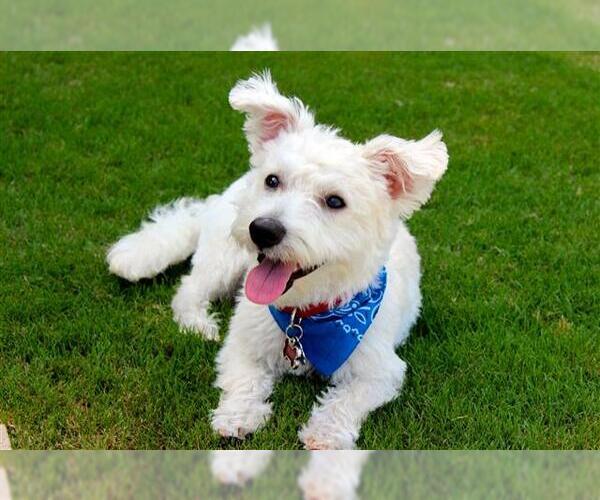 Medium Photo #2 Wee-Chon Dog Breed