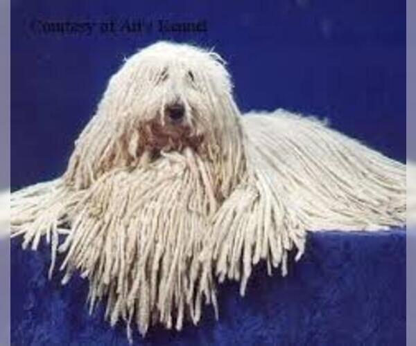 Medium Photo #4 Komondor Dog Breed