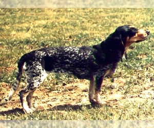 Image of Lucerne Hound breed
