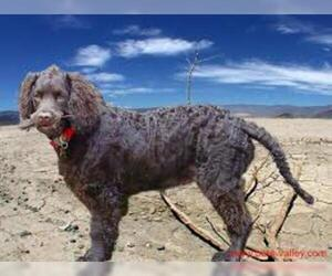Small #3 Breed American Water Spaniel image