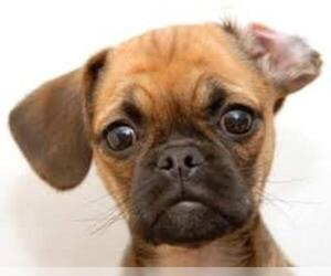 Small #6 Breed Puggle image