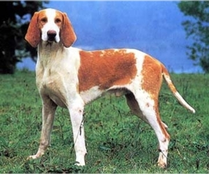Image of Grand Anglo-Francais breed