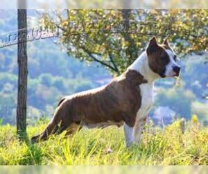 Small #4 Breed American Staffordshire Terrier image