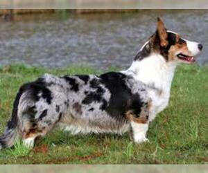 Small #3 Breed Cardigan Welsh Corgi image