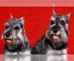 Image of breed Schnauzer (Miniature)