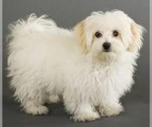 Small #6 Breed Maltese image